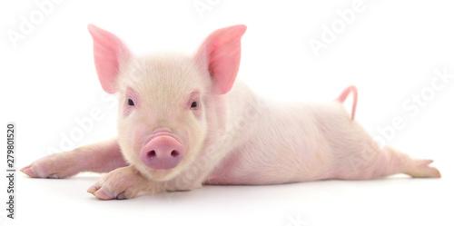 Pig on white Fototapeta