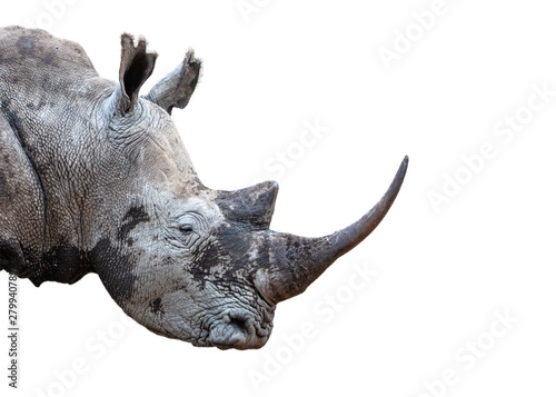 Canvas Print Southern White Rhino Horn Closeup Extracted