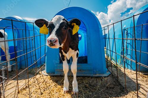 Fotografía Young calf in blue calf-house at diary farm