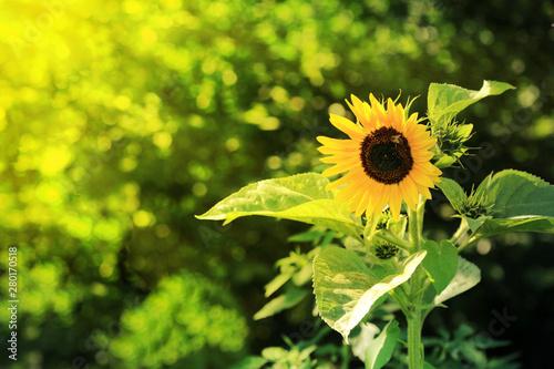 Pszczoła na kwitącym słoneczniku w promieniach słońca.