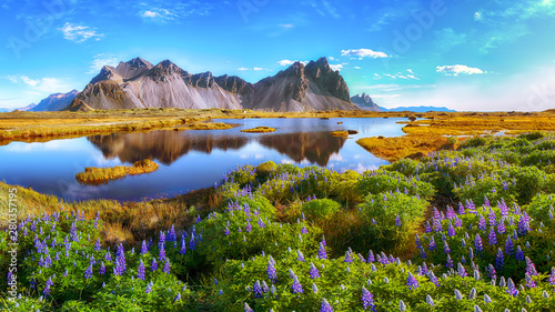 Fotografie, Obraz Beautiful sunny day and lupine flowers on Stokksnes cape in Iceland