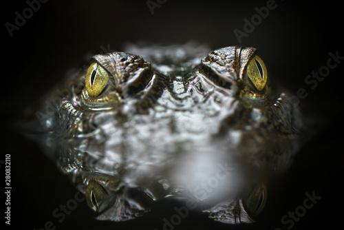 Fotografía Freshwater crocodile ( Crocodylus mindorensis ) in the water