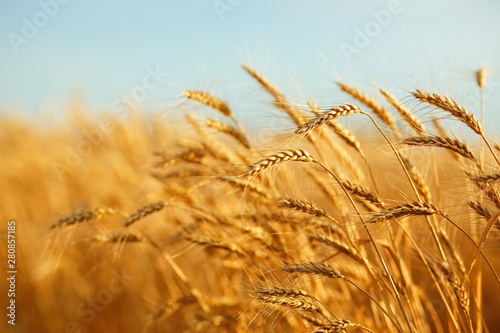 agriculture, barley, agricultural, autumn, background, beautiful, beauty, bread, Fototapete