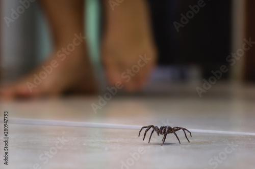 Fotografija Poisonous spider indoors, dangerous venomous animal