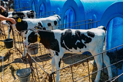 Tableau sur Toile Young Holstein Freisian calves in blue calf-house at diary farm
