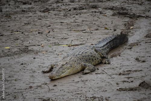Salt Water Crocodiles, mangrooves, Bhitarkanika National Park, Odisha, India Fototapete