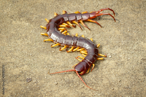 Cuadros en Lienzo Image of centipedes or chilopoda on the ground