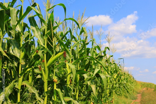 Canvas Print Green field with young corn