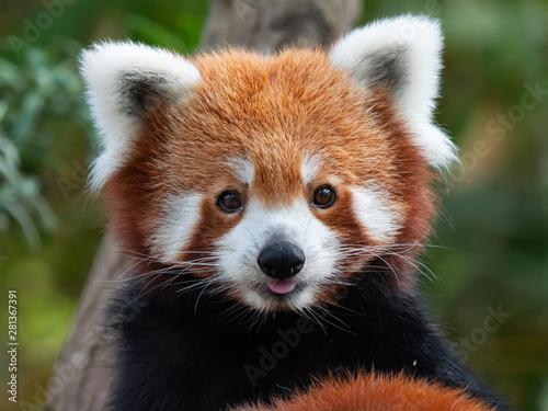 Fotografia Endangered Red Panda in Captivity