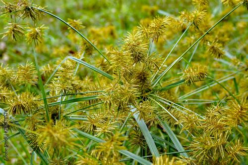Obraz na płótnie Horizontal image of common nutsedge (Cyperus esculentus), a perennial weed, in f