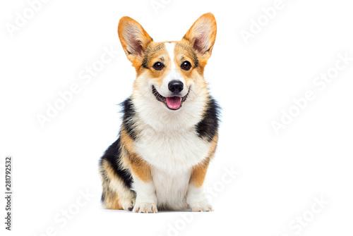 Canvas Print welsh corgi breed dog sitting on a white background