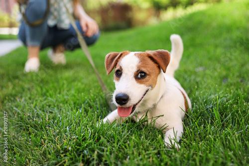 Obraz na płótnie Adorable Jack Russell Terrier dog on green grass outdoors