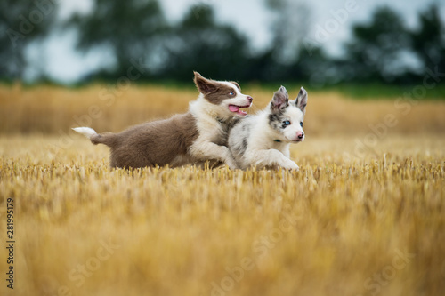 Obraz na plátně Two border collie puppies running in a stubblefield