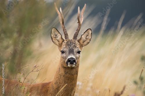 Canvas Print Roebuck - buck (Capreolus capreolus) Roe deer - goat