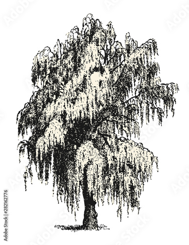 vintage vector drawings / design elements: mourning / weeping willow or birch sk Fototapeta