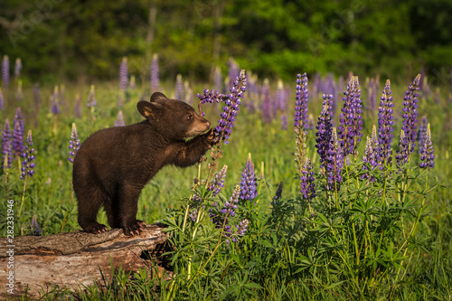 Fototapeta Black Bear Cub (Ursus americanus) Paws at Lupine Summer