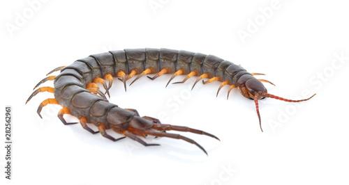 Fényképezés A centipede isolated on white background