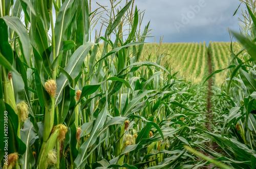 Green corn field with corn cobs close up. Fotobehang