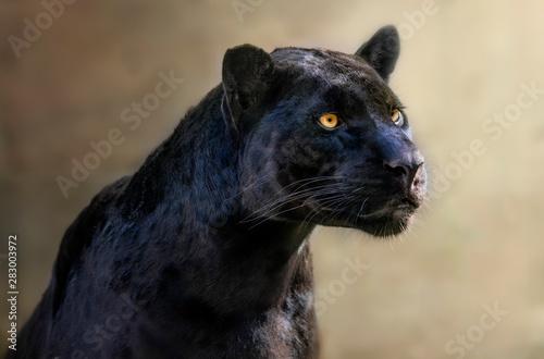 Obraz na plátne portrait of black jaguar