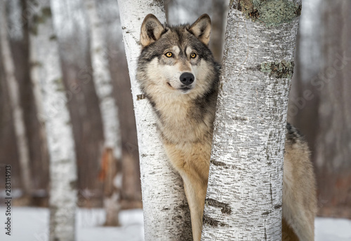 Grey Wolf (Canis lupus) Between Trees Looks Up and to Right Winter