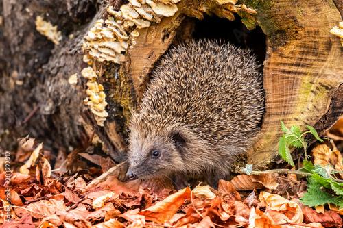 Obraz na plátne Hedgehog, wild, native, European hedgehog in natural woodland habitat with Autumn leaves and fungi