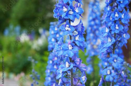 Photo Delphinium cultorum benary's pacific blue bird flowers