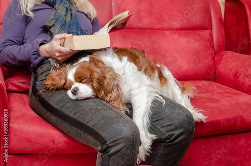 Slika na platnu Charming dog – Cavalier King Charles Spaniel – sleeping on woman's lap while she