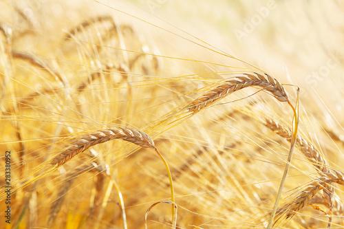 Stampa su Tela Ears of barley in a field. Harvesting period