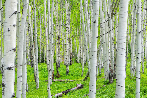 Fotomural Aspen forest trees pattern in summer on Kebler Pass in Colorado in National Fore