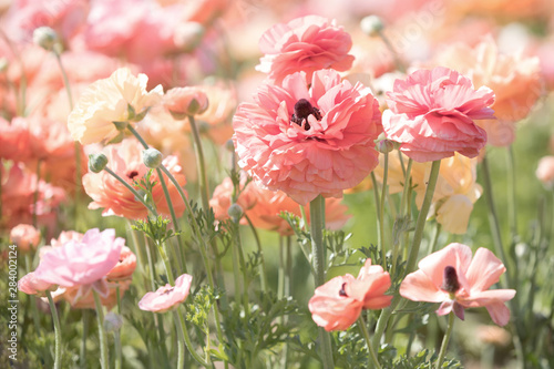 Canvas Print Original photograph of a field of salmon and coral colored Ranunculus flowers gr