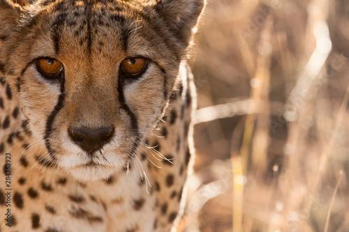 Cheetah Conservation Fund, Namibia Fototapeta