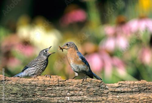 Foto Eastern Bluebird (Sialia sialis) female feeding fledgling on fence near flower g