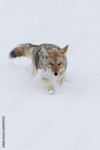 Coyote in deep snow Tapéta, Fotótapéta