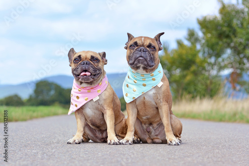 Fotografía Tow similar looking brown French Bulldogs sitting next to eacth other wearing ma