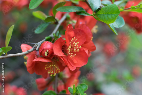 Fotografiet Lush Red flowers of Cydonia or Chaenomeles Japonica or Superba