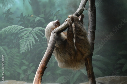 Canvas Print A sloth hanging on a branch