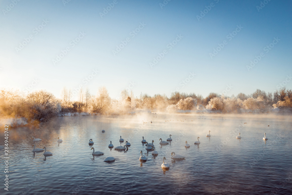 View of the winter lake with swans.