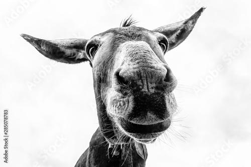 Fotografia Donkey head close-up taken by downside