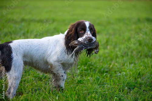 Fotografia One male spaniel is standing in a field and holding the Eurasian woodcock (Scolopax rusticola) in its mouth