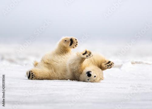 Canvastavla Polar Bear cleaning his coat in Kaktovik Alaska