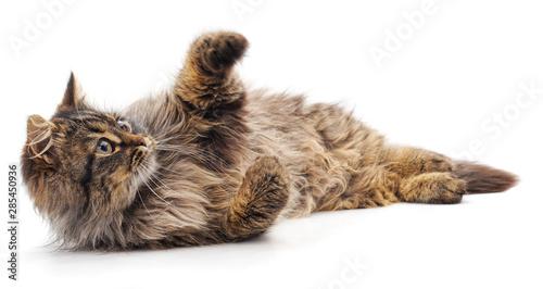 Obraz na plátně Beautiful brown cat.