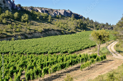Slika na platnu Vine in the scrubland near of Narbonne in southern France in the Languedoc-Rouss