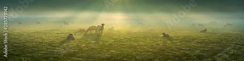 Obraz na płótnie Schafe im Frühnebel auf den Ruhrwiesen in Duisburg