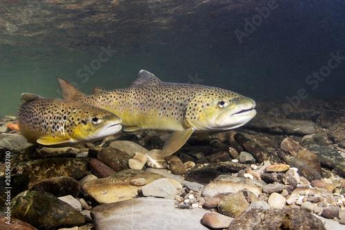 Fotografia Brown trout (Salmo trutta) preparing for spawning in small creek
