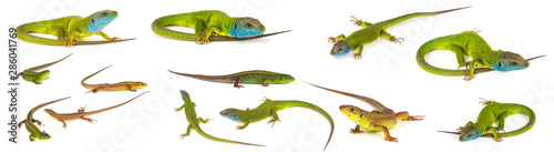 Stampa su Tela Green lizard set collection isolated on white background
