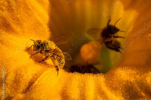 Fototapeta abeille butinant