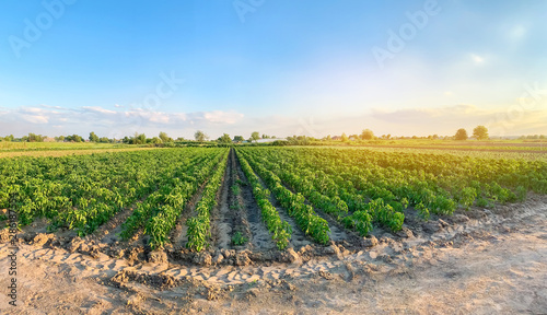 Obraz na plátně Panoramic photo of a beautiful agricultural view with pepper plantations