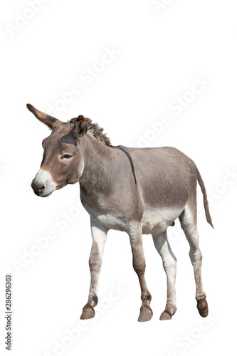 Wallpaper Mural donkey isolated on white background