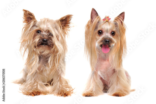 Canvas Print Collage of the same yorkshire terrier dog before and after grooming