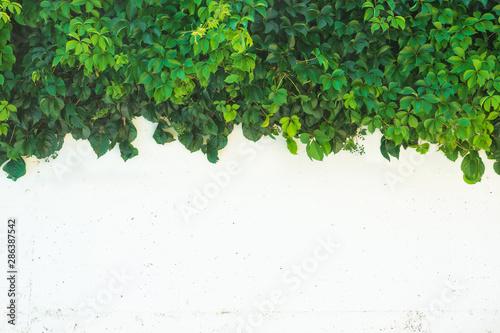 Obraz na plátne Virginia creeper (Parthenocissus quinquefolia) plant on the white wall